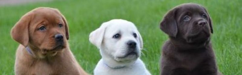White Red Chocolate And Black English Lab Puppies Lab Puppies English Lab Puppies White Labrador Puppy