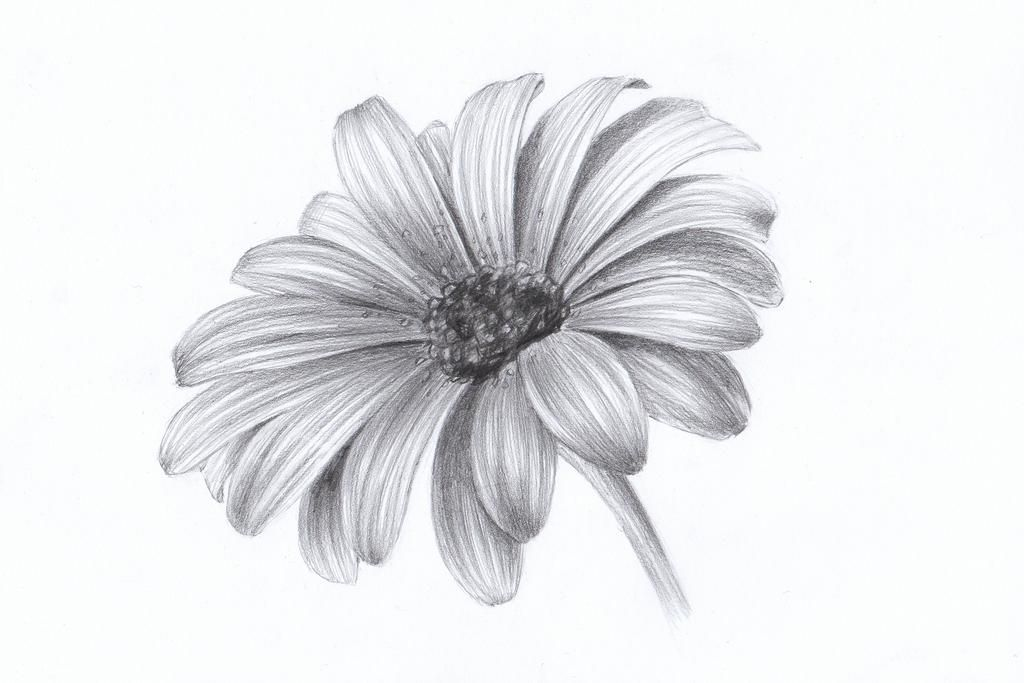Daisy By Lelixiana On Deviantart Pencil Drawings Of Flowers Realistic Flower Drawing Flower Sketches