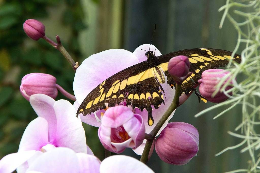 Butterfly Resting On An Orchid!