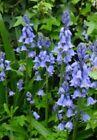 Hasenglöckchen 30 Samen blauweiß Garten & Terrasse #kletterpflanzenwinterhart