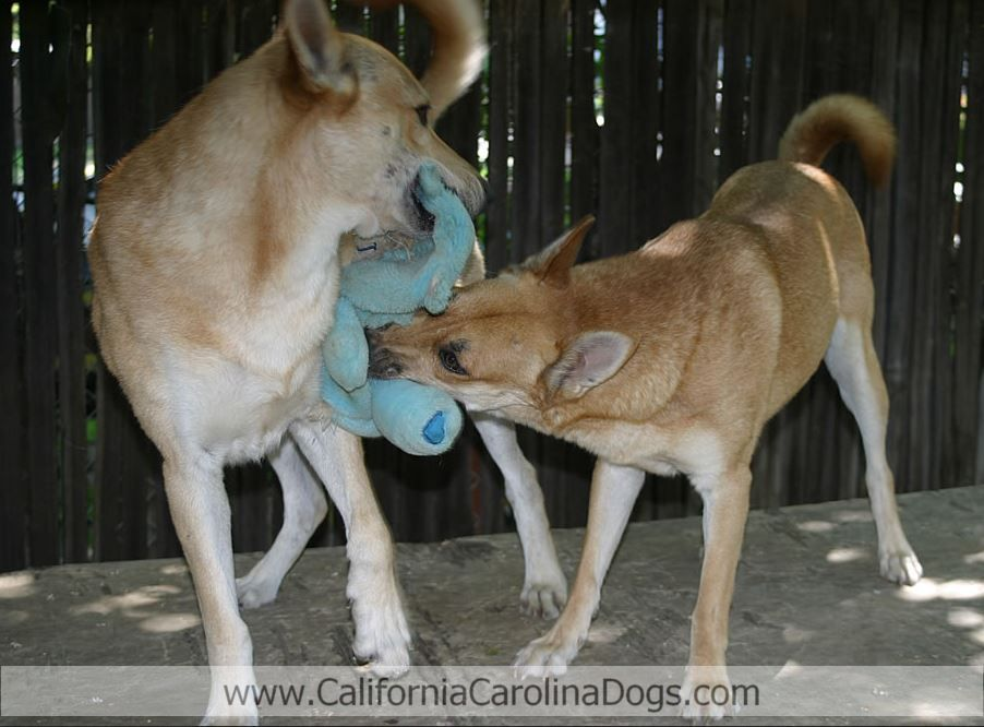 Pin by California Carolina Dogs on California Carolina