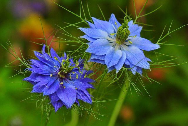 Blue Nigella Love In Mist Flower By Natureloving Via Flickr