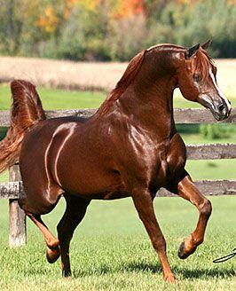 *Khadraj is the ALL-TIME leading living sire of Western Pleasure Horses.