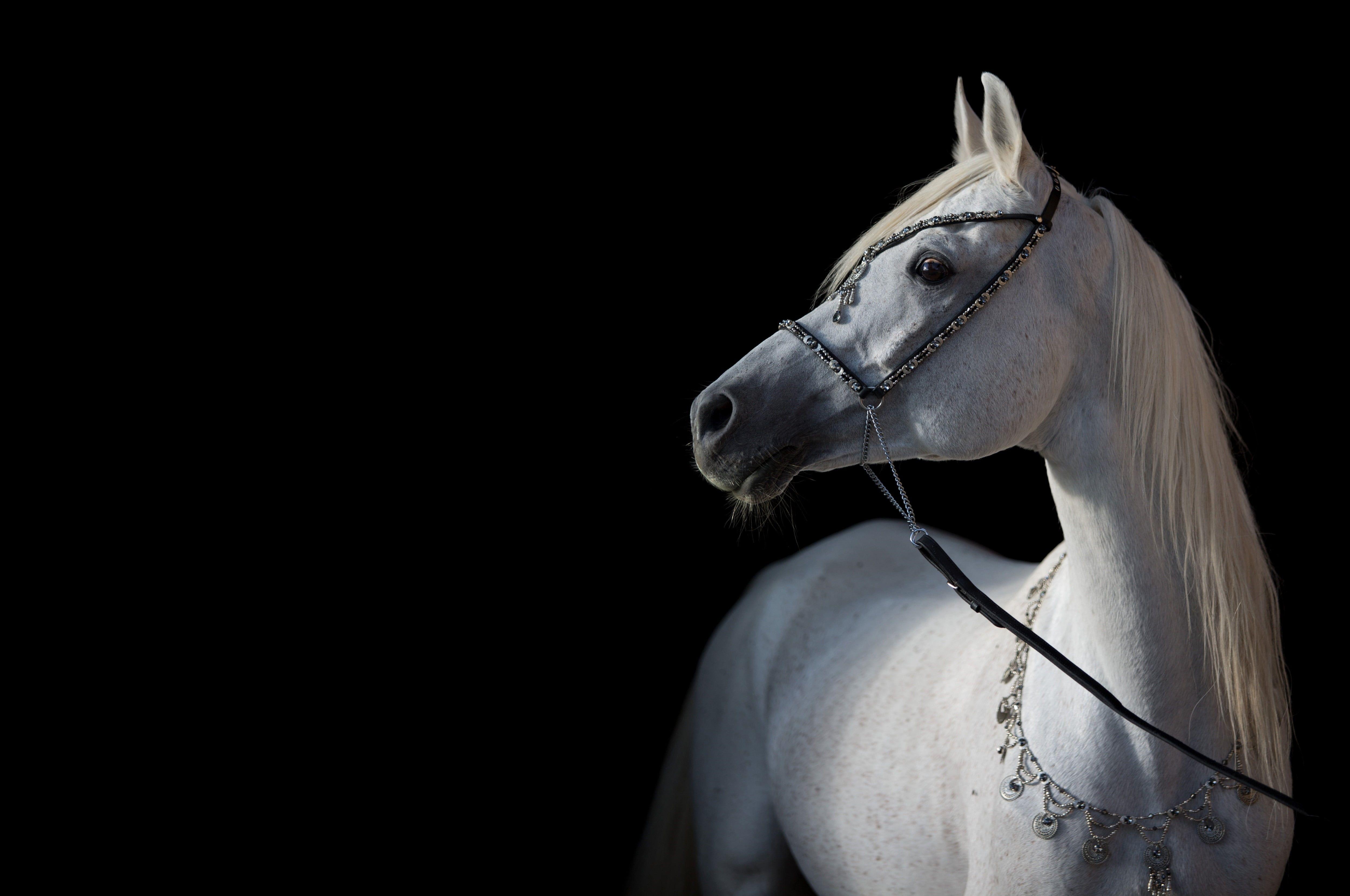 Light Horse Horse Contrast Grace The Dark Background Arab 4k Wallpaper Hdwallpaper Desktop In 2021 Horses Horse Wallpaper Dark Background