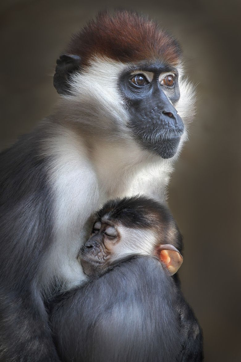 Collared Mangabeys | unconditional love | Animals, Monkey ...