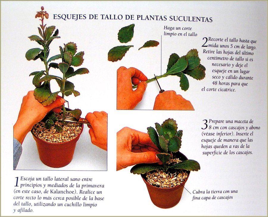 Pin On Cactus Crasas Suculentas