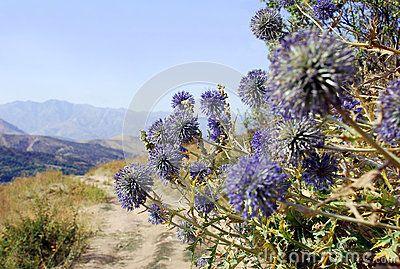 echinops ritro production québec | Echinops Ritro On A Background Of Mountains Stock Photo - Image ...