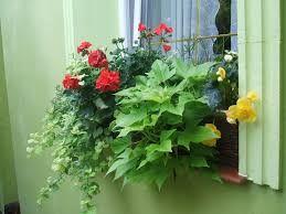 Znalezione Obrazy Dla Zapytania Rosliny Balkonowe Zwisajace Zielone Plants