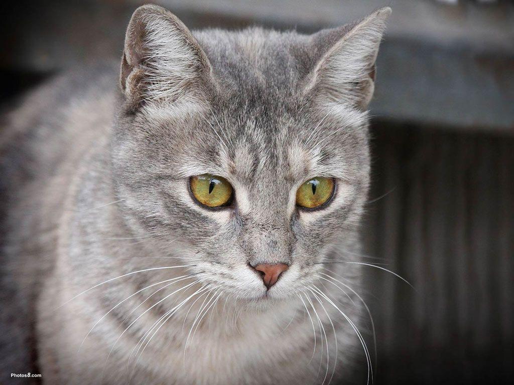 Gray Cat With Green Eyes Desktop Wallpaper Grey Cats Pretty Cats Cat Allergies