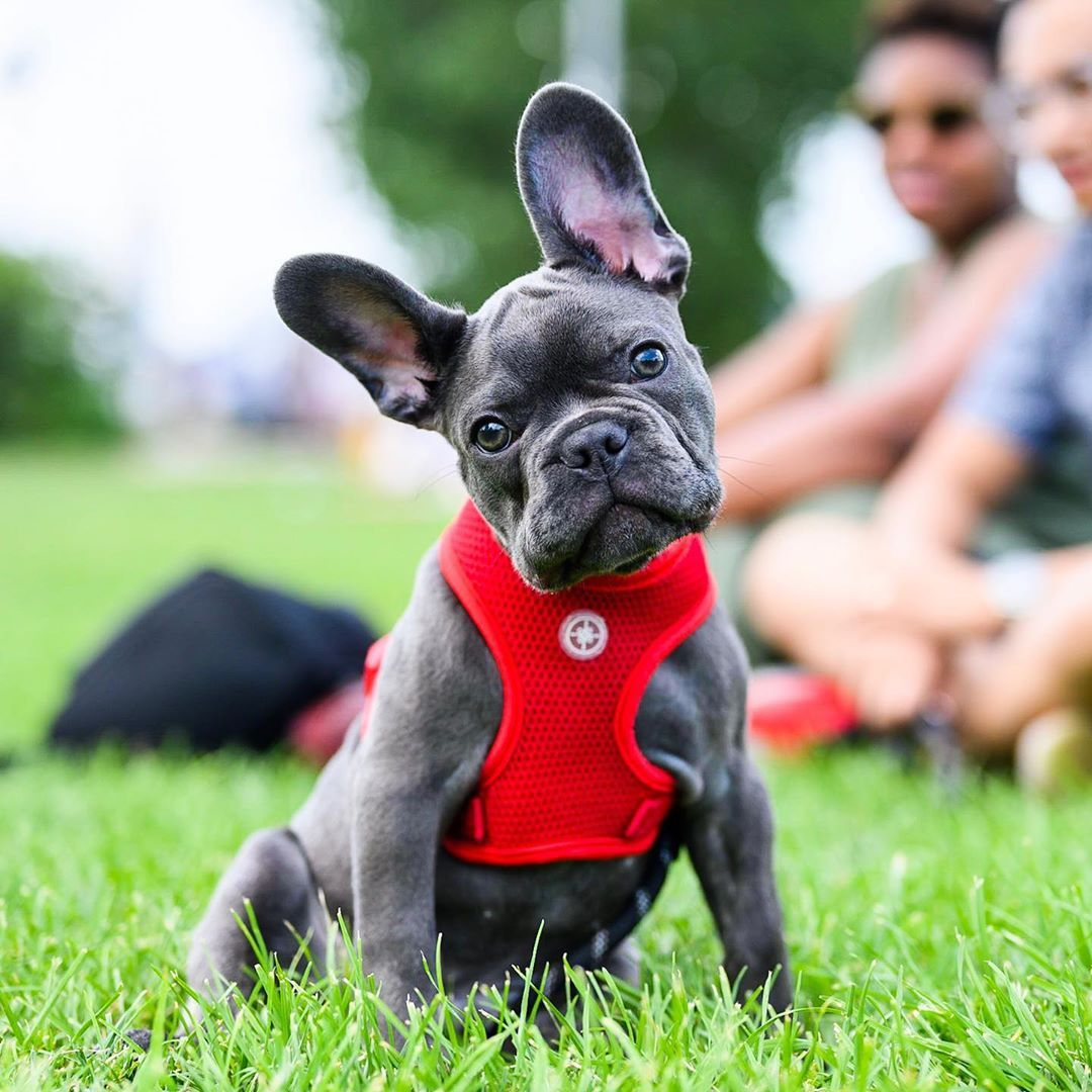 Jacoby French Bulldog 3 M O East River State Park Brooklyn