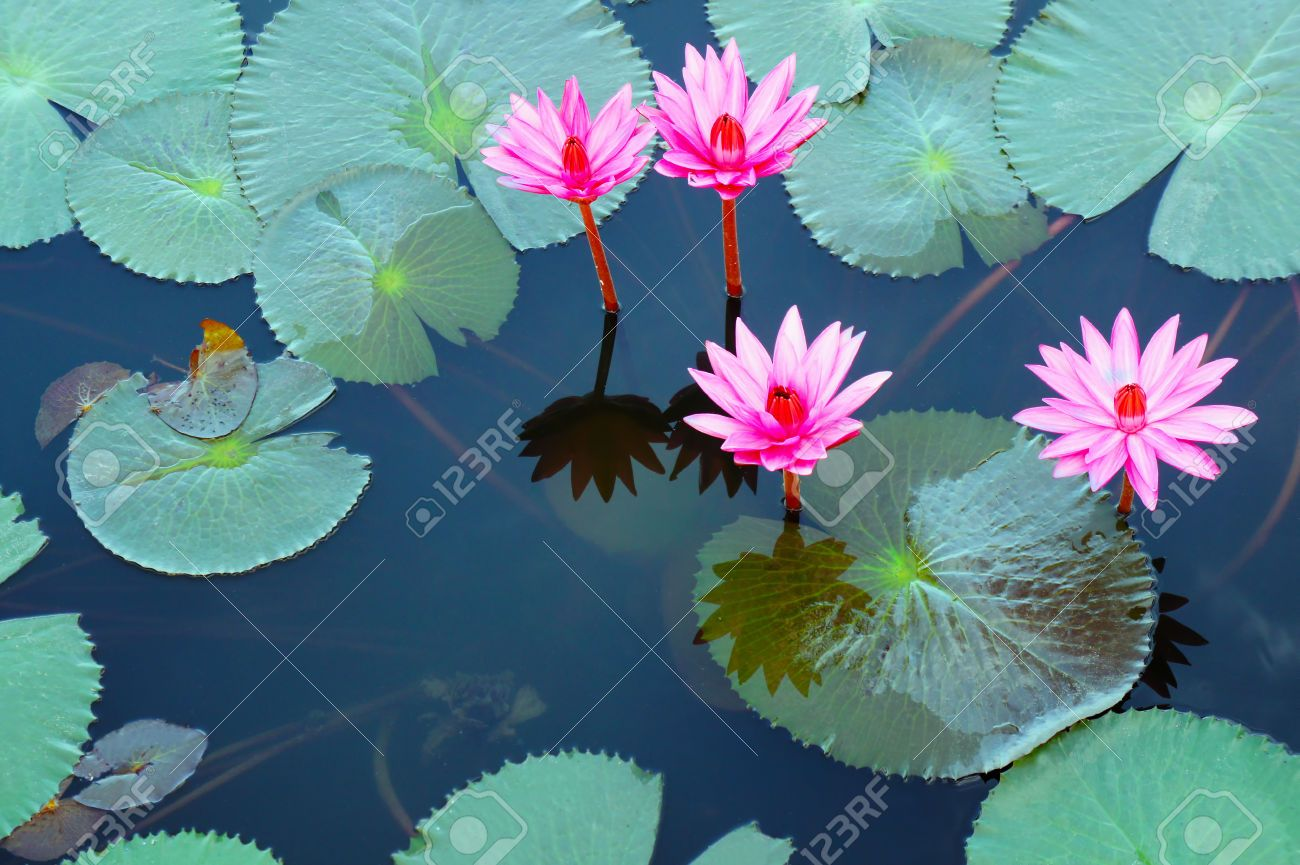 Colorful Lotus Flower Floating On The Lake Stock Photo, Picture And Royalty Free Image. Image 27432776.