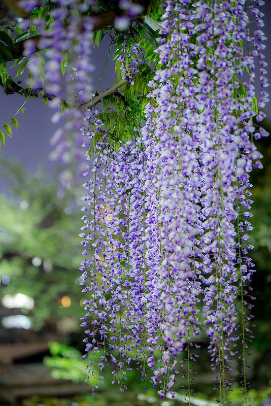 Discover Ashikaga Flower Park And How To Get There From Tokyo Enjoy The 150 Years Old Great Wisteria The Wisteria Tunne Wisteria Tree Ashikaga Wisteria Japan