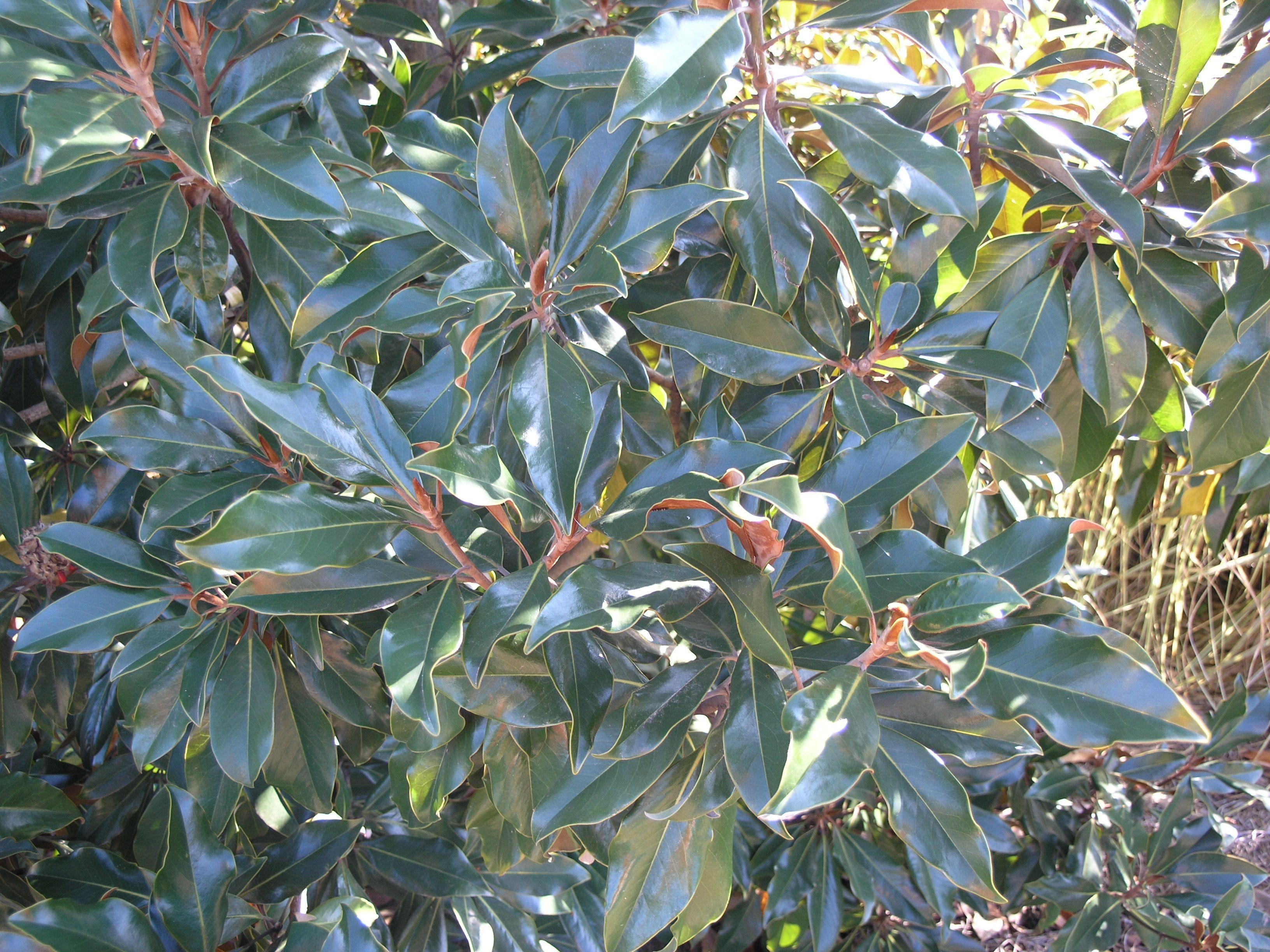 Kay Parris Magnolia Monrovia Kay Parris Magnolia Monrovia Plants Monrovia Hardscape