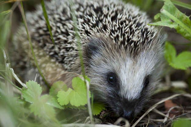 The First Hedgehog Was Domesticated In 4 B C Garden Animals