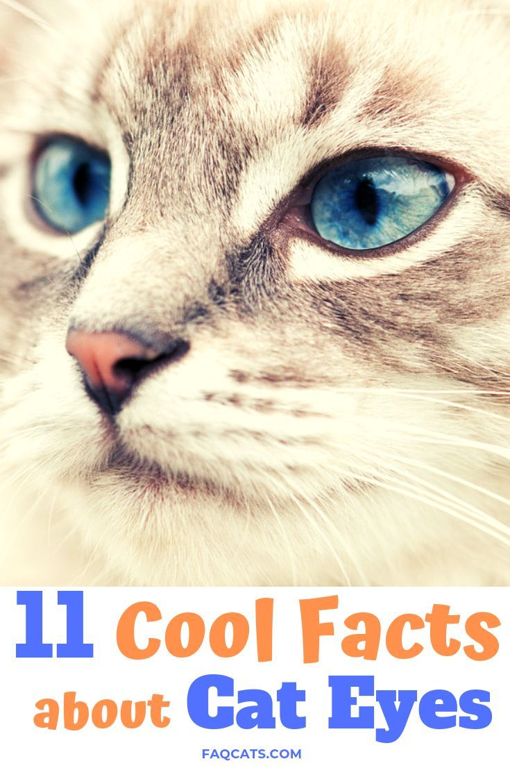 Have you noticed how amazing a cats eyes can be? From unique blue eye colors to vibrant reds and yellows, we'll share 11 awesome facts about cat eyes you need to know! #animals #cats #eyes #blue #yellow #red #green