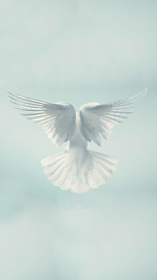 White Dove Iphone Wallpaper Fosterginger Pinterest Com More Pins Like This One At Fosterginger Pinterest No Pin L Iphone Wallpaper Wallpaper White Doves