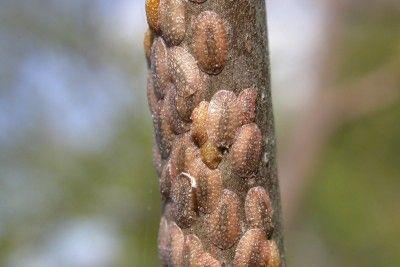 742dbd9a675fbefb9e8d9052c7048b1f - How To Get Rid Of Scale Insects On Citrus Trees