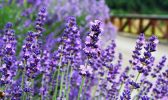 I planted lavender by the pool this year to keep mosquitos away. Rubbing some of the oil on your skin helps repel them.