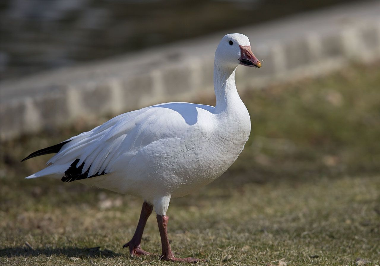 Snow Goose | Swans, Geese, Dabblers, Etc. | Chen caerulescens | Snow Goose | 18.62
