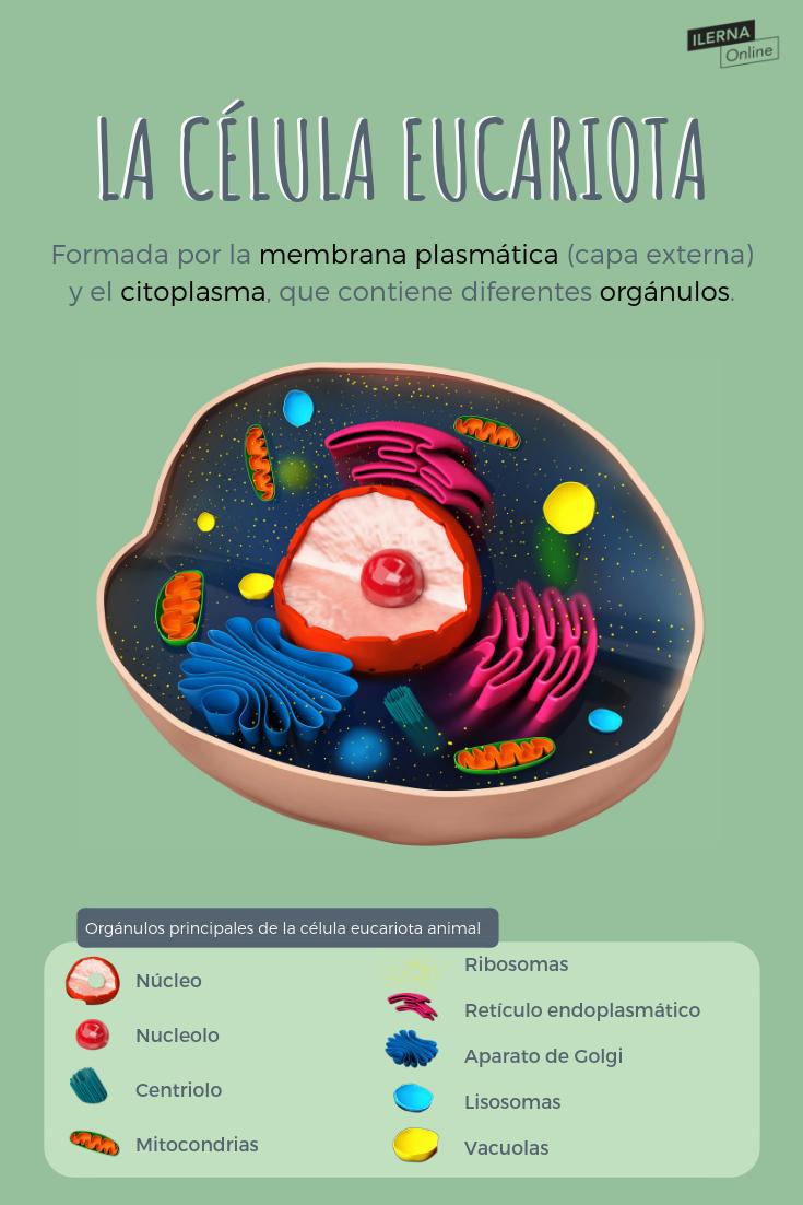 Vídeo Sobre Las Partes Y Funciones De La Célula Eucariota Animal Celulaeucariota Biología Beonline Enseñanza Biología Biología Avanzada Estudiar Biologia