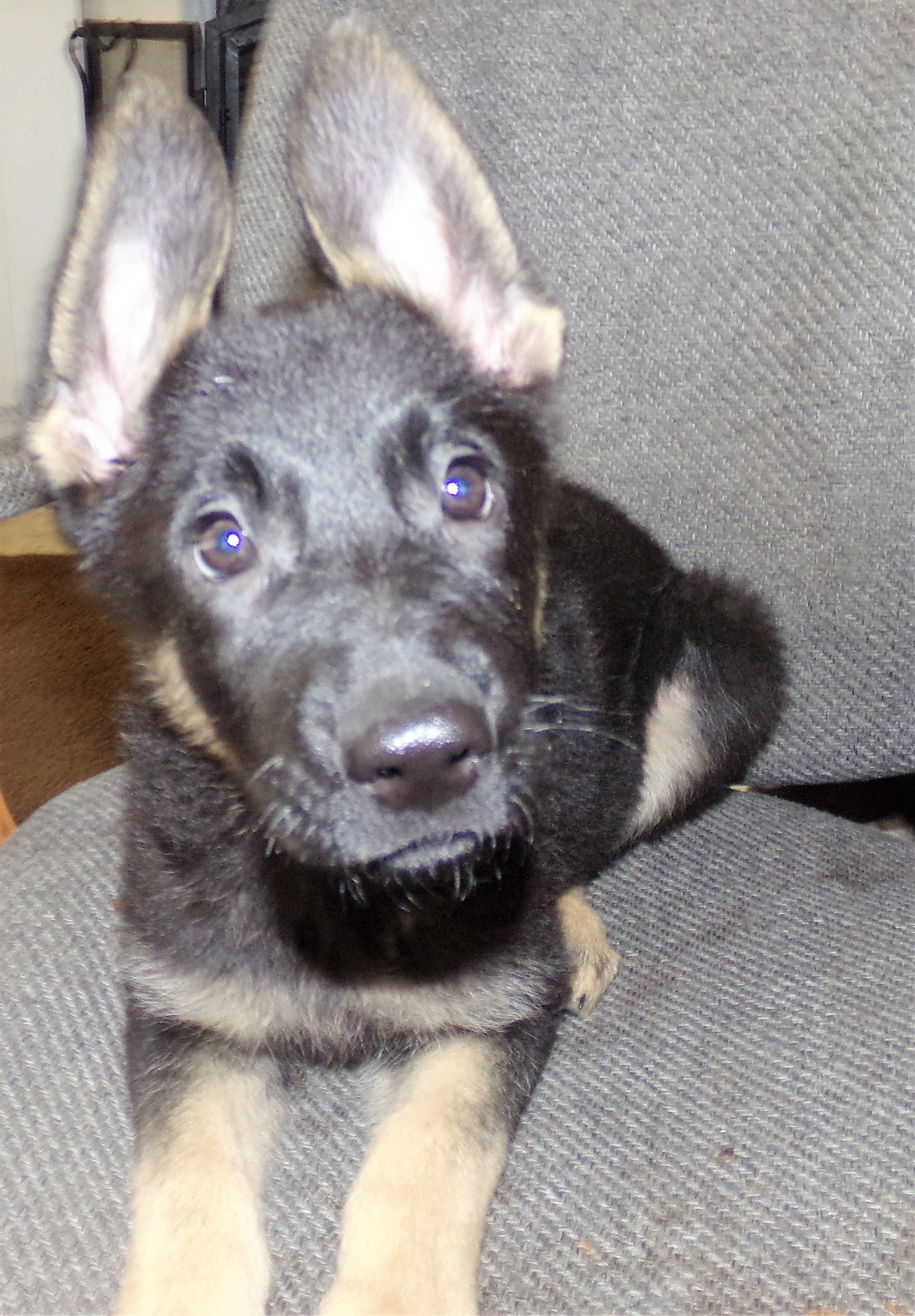 Breed German Shepherd Gender Female Registry Non Registrable