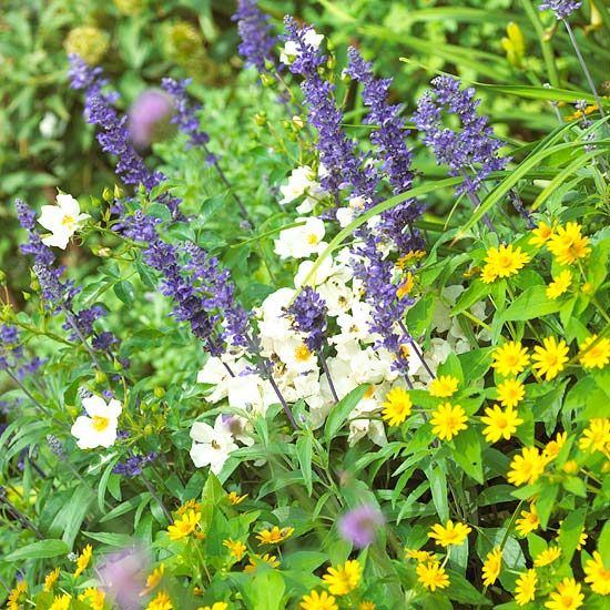 Top annual plant pairings plants gardens and salvia melampodium is a top notch mounding plant with loads of yellow flowers its mounding form brings to life the spiky shape of victoria blue salvia and mightylinksfo Gallery