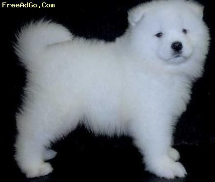 Simoid Dogs Ohio Akc Samoyed Puppies Looking For Home Cincinnati Oh Samoyed Puppy Dogs Samoyed
