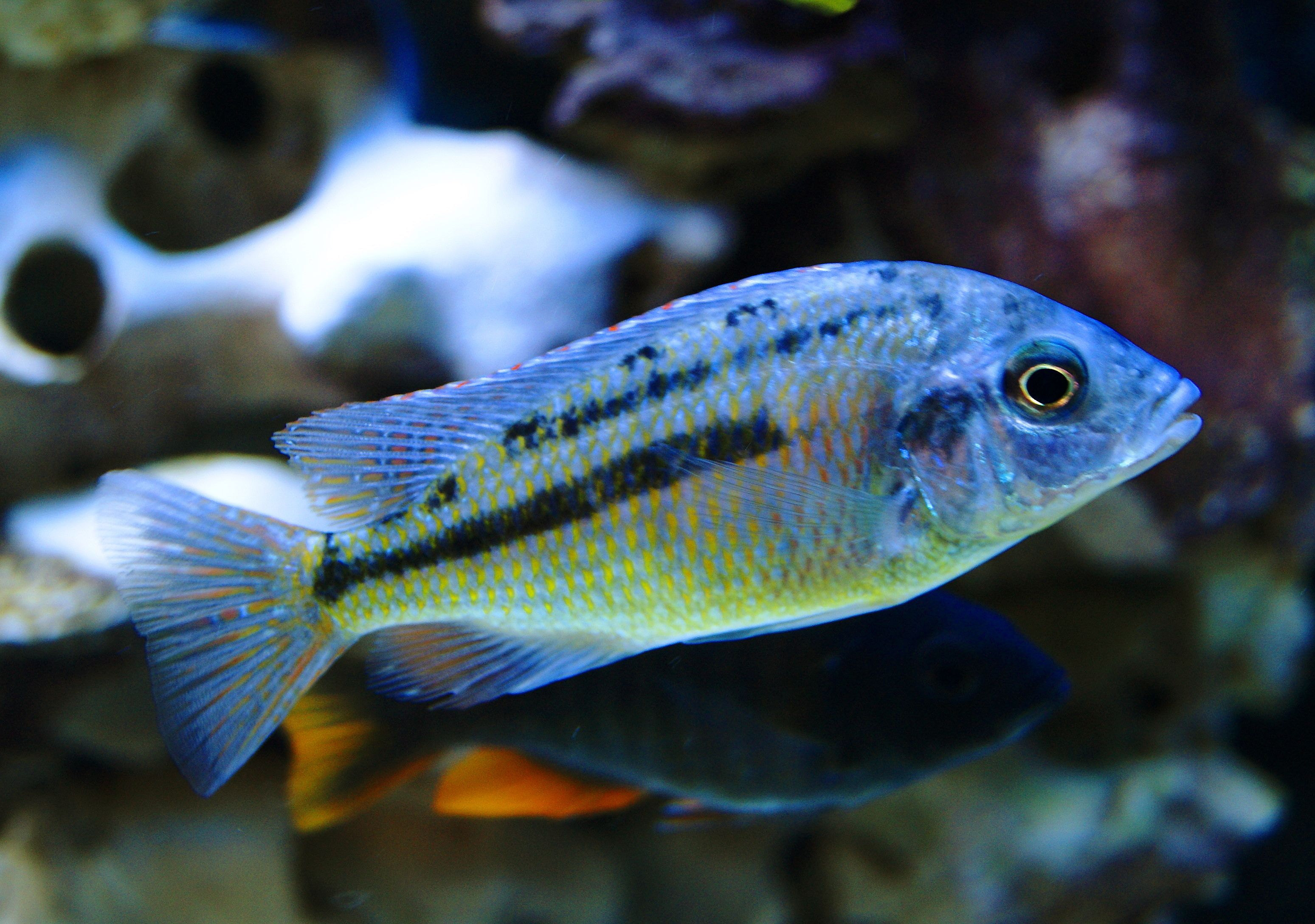 Copadichromis Azureus Azureus Cichlid 120 Gallon All Male Hap