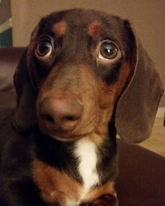 Linus The Doxie 4 1 2 Month Old Miniature Chocolate And Tan