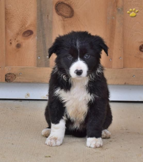 Akira Australian Shepherd Mix Puppy For Sale In Dundee Oh Lancaster Puppies Australian Shepherd Mix Puppies Australian Shepherd Mix Australian Shepherd