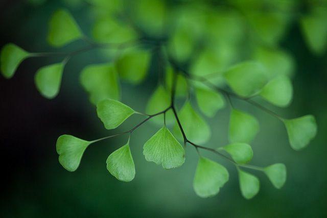 Ginkgo leafs