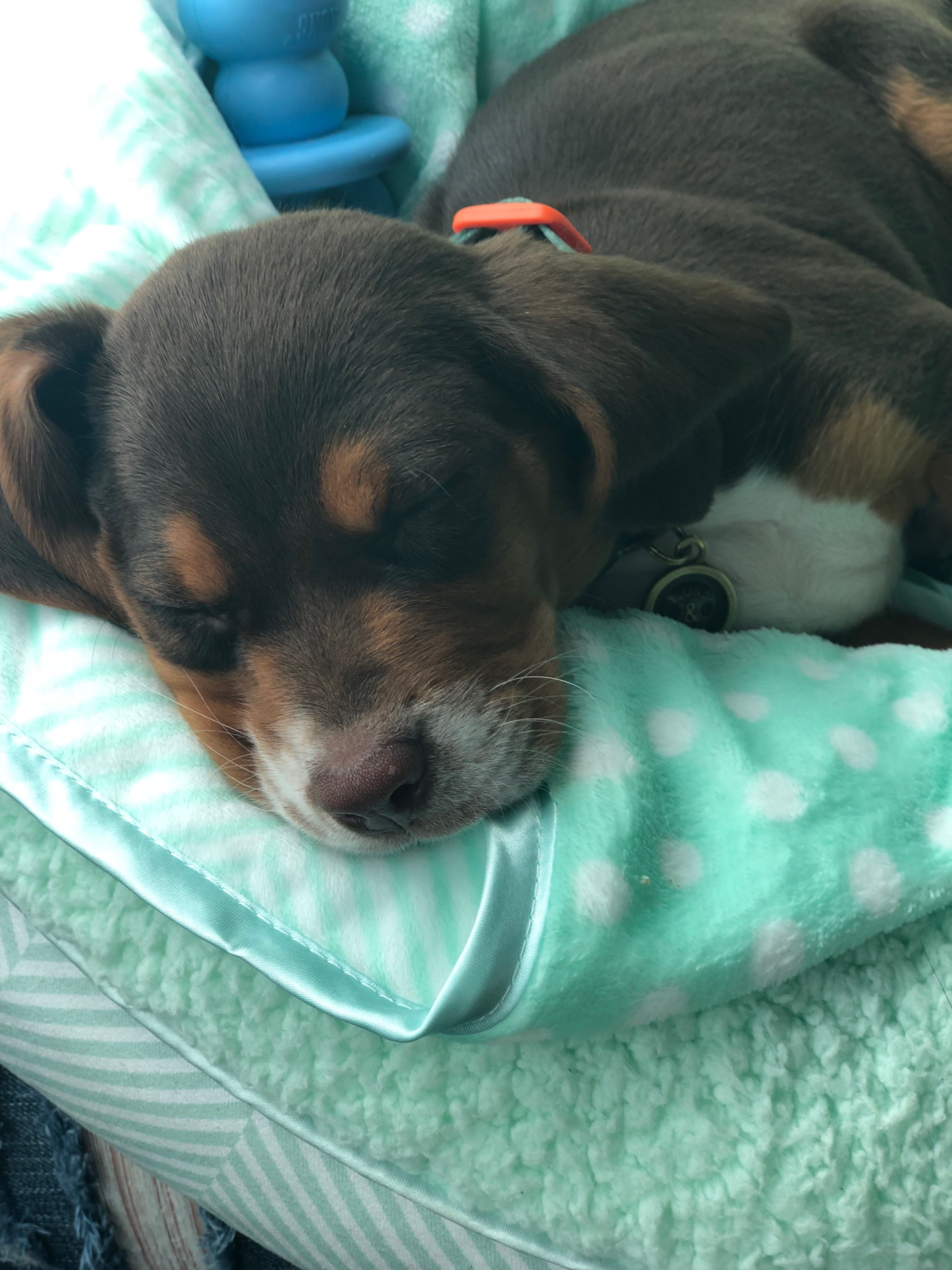 Newborn Black Cap Beaglet Dogs Beagle Dogs And Puppies