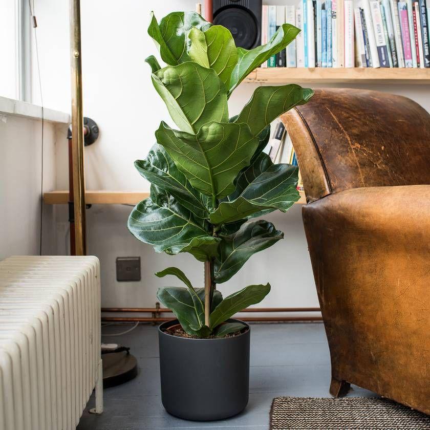 Fiddleleaf fig Plants, Ficus, Indoor plants