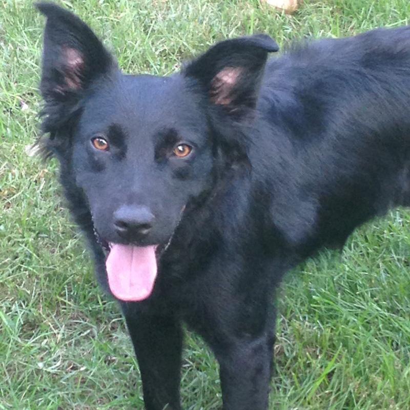 Adopt Frisbee On Flat Coated Retriever Pets Retriever Dog
