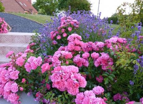 Rosier Maeva, rosier couvre sol très florifère, très sain