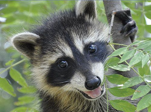 Raccoon Information Facts And Photos Baby Raccoon
