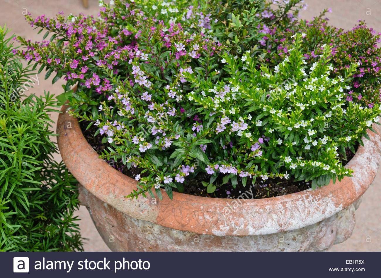 Cuphea pink low ground flowering perennial plants for my cuphea pink low ground flowering perennial mightylinksfo