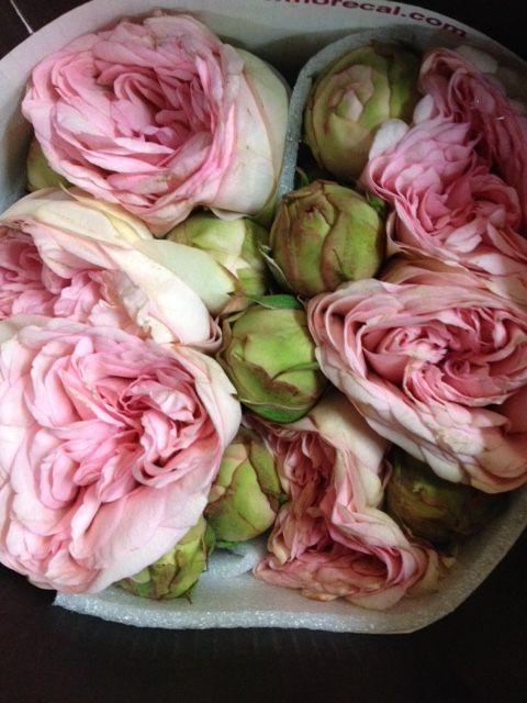 Garden Spray Rose 'Bridal Piano Rosabella'  Sold in bunches