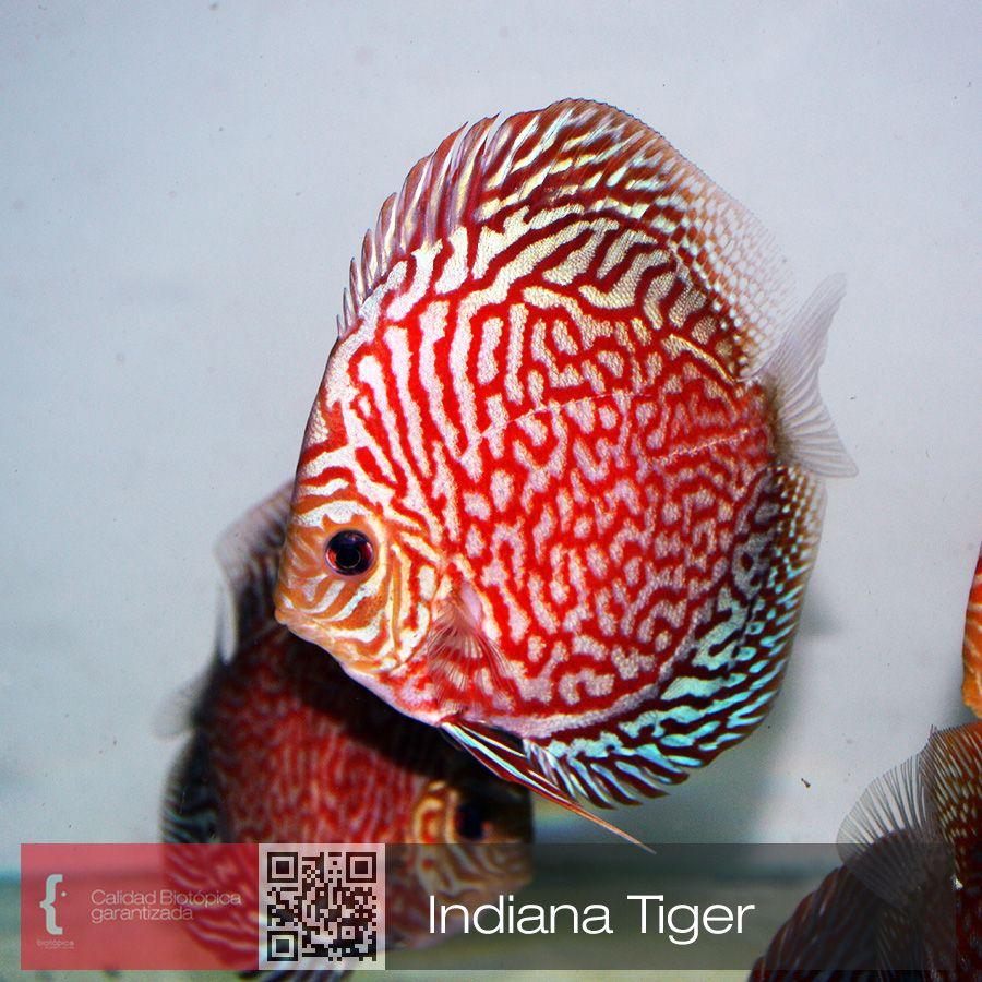 Pin de h ctor vega en peces disco criadero for Criaderos de pescados colombia