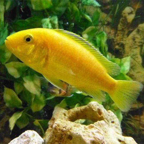 Yellow Lab Cichlid Labidochromis Caeruleu Poisson