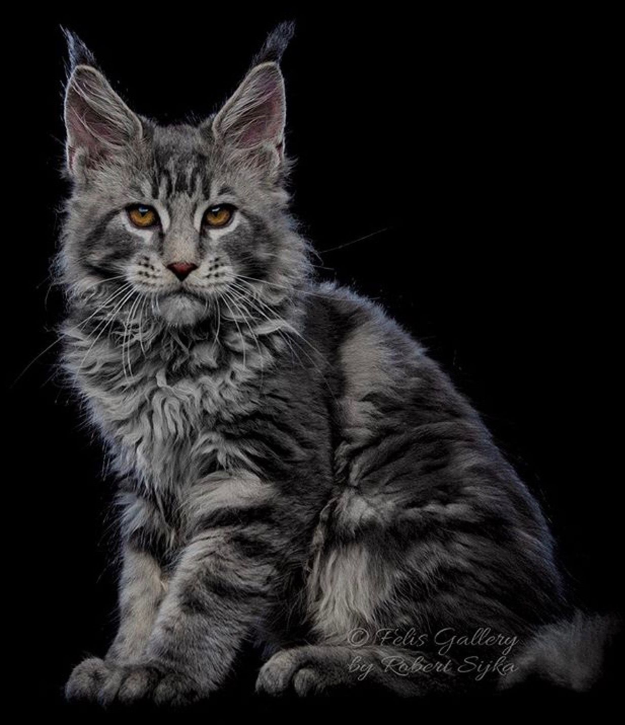 This is a great Maine Coon color scheme  Smoky  | Maine coon