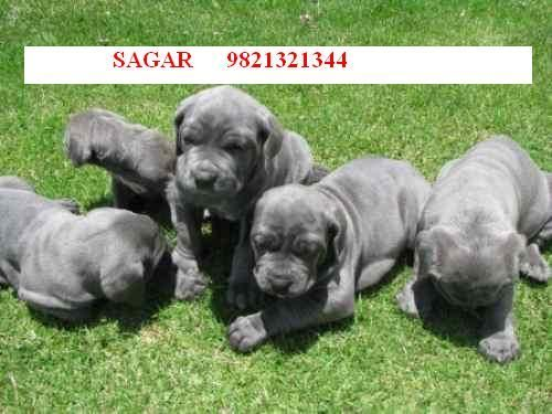 Neapolitan Mastiff Puppies 4 Sale In Mumbai 09821321344 For Sale