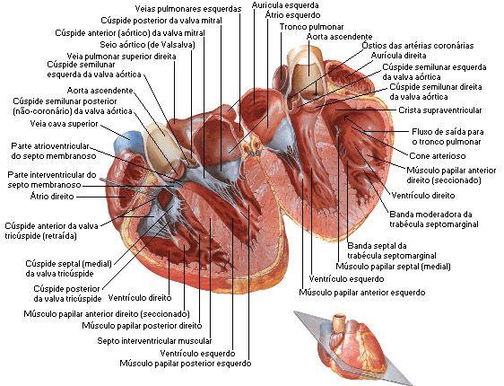 Aula de Anatomia | Coração | Estudos | Pinterest | Anatomía, Sistema ...