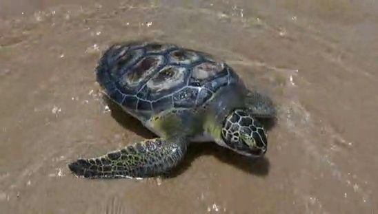 Sea Turtle Hospital Releases Dozens of Mended Turtles Back into the Wild - See more at: http://charlotte.twcnews.com/content/news/giving_back/708576/sea-turtle-hospital-releases-dozens-of-mended-turtles-back-into-the-wild/#sthash.D6EtdAd4.dpuf
