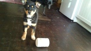 'Betty' the kelpie does not quite understand the game yet.  Keep Your Dog Happy: Make a Simple Boredom Buster http://www.visiontimes.com/2015/07/16/keep-your-dog-happy-make-a-simple-boredom-buster.html