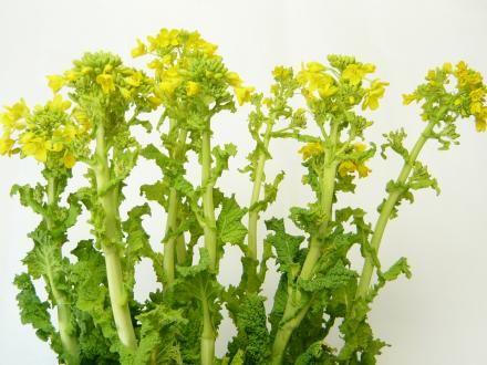 菜の花 | 切花の仲卸、10本単位の花卸、花の通販サイトは西部フラワーマーケット | お花ショッピング商品詳細