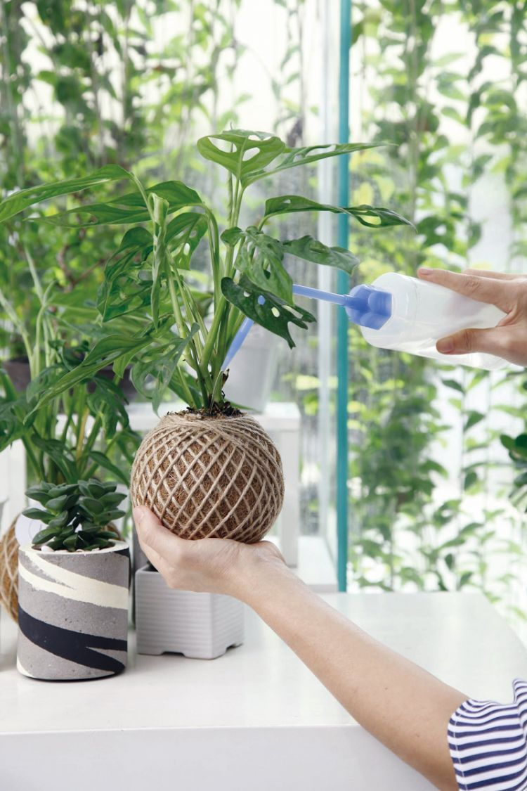 6 Tips Jitu Merawat Tanaman Monstera Dalam Rumah Biar Daunnya Bisa Lebar Tanaman Menanam Bunga Bunga Langka