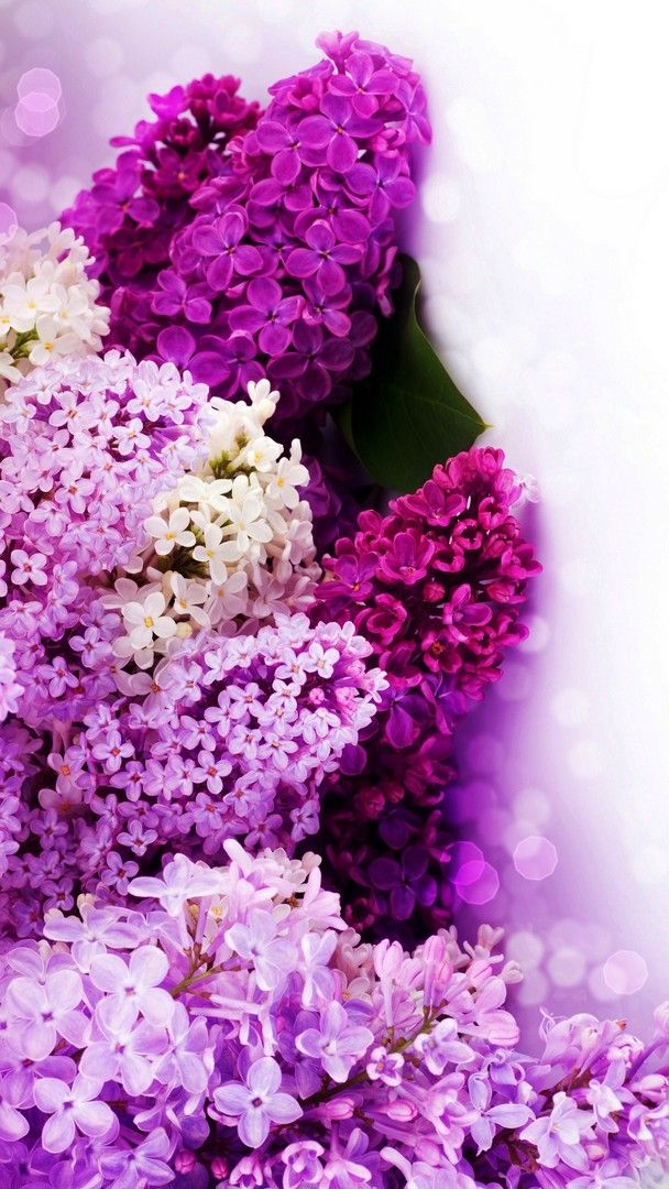 Lavender Flowers iPhone Wallpaper best is high definition