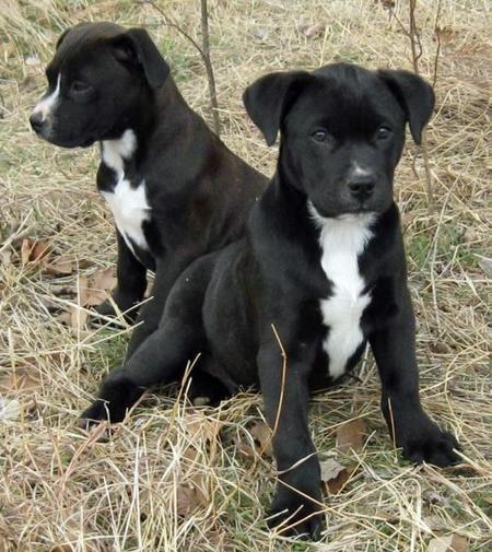 Cowboy The Adoptable Labrador Mix Pitbull Mix Puppies Lab Mix Puppies Pitbull Puppies For Sale