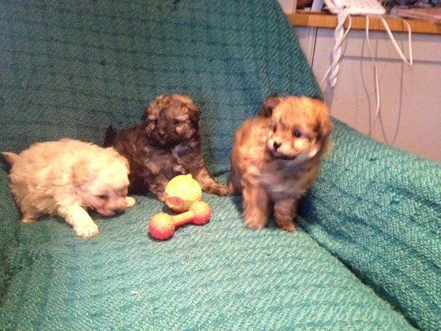 Pomeranian Toy Poodle Poodle Mix Toy Poodle Puppies